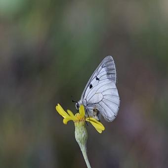 Uludağ'ın zirvesindeki kelebekler görenleri hayran bıraktı