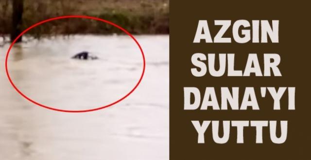 Azgın Sular Dana'yı Yuttu